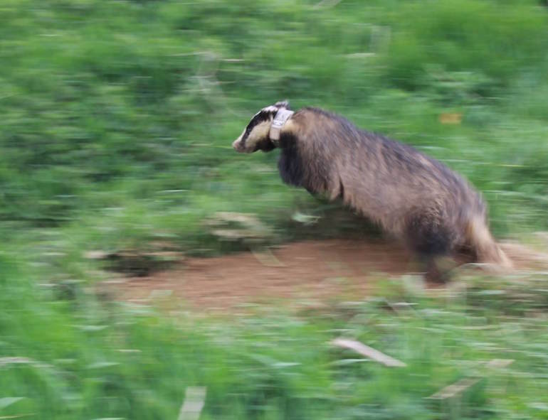 Badger (collared) similar to Leo